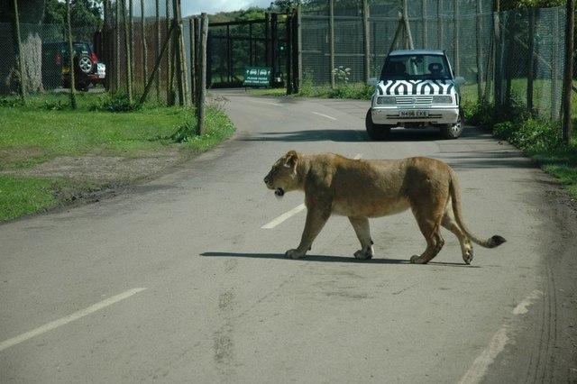 Longleat - Safari Park Lion
