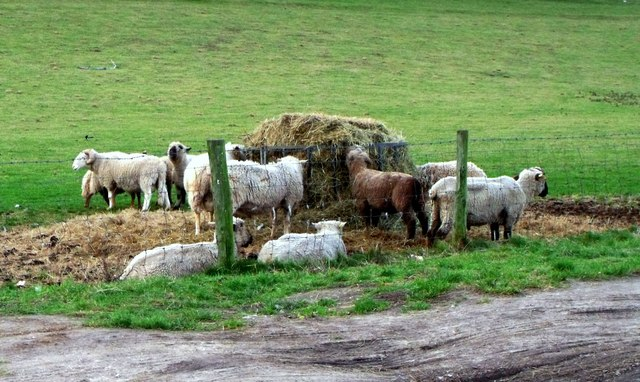 Rare breed sheep feeding, East Dean, East Sussex