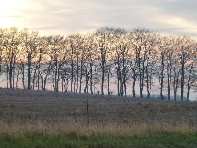 Trees on Massingham Heath
