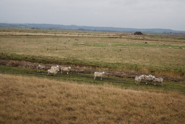 Sheep on Cliffe Marshes