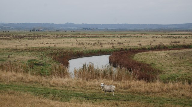 A Sheep by a drainage channel