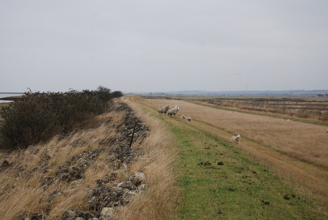 Sheep on the path