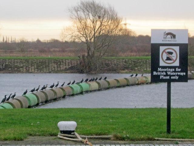 Cormorants at Cromwell Lock