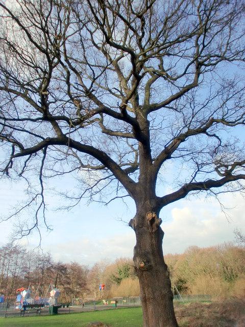 Large Oak Tree, Lonsdale Drive, Enfield