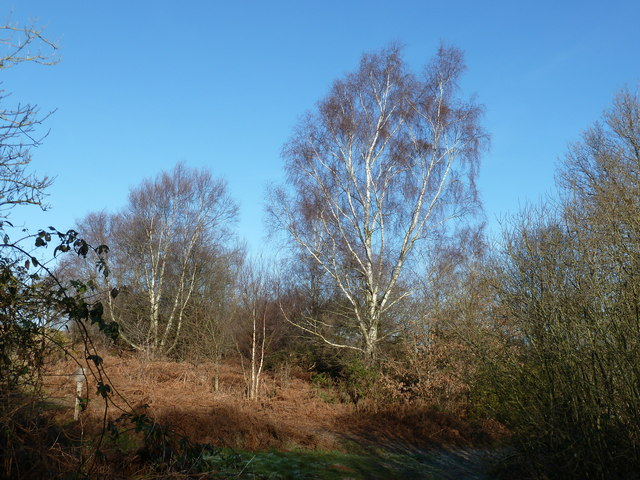 Birches on Red House Common
