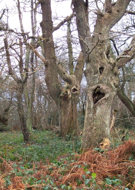 Ancient oaks on Ashtead Common