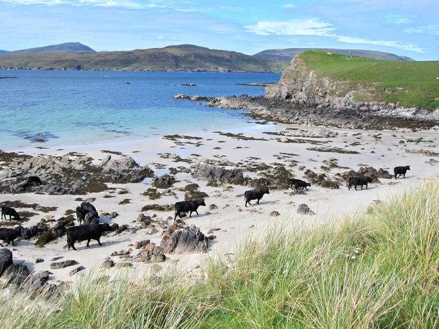 Balnakeil cattle
