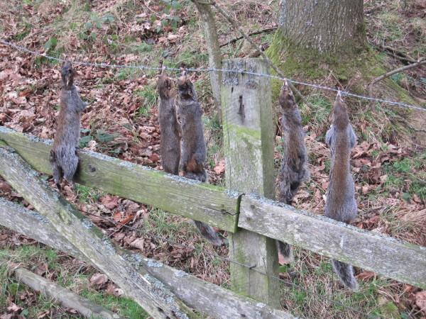 Culled Grey Squirrels near Elrington