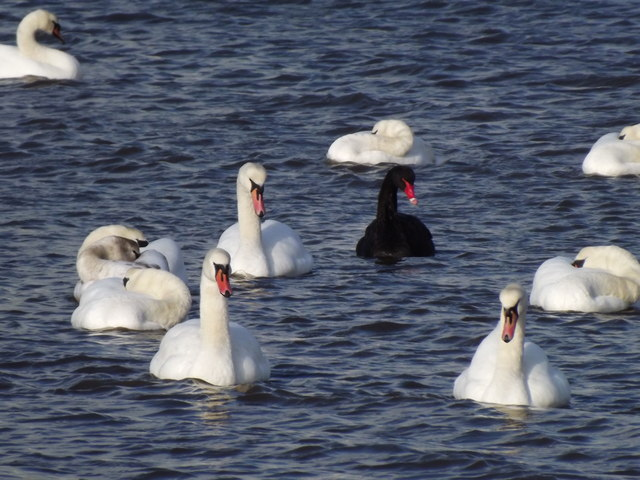 A black swan lost in a crowd of white swans. Image courtesy Colin Smith via Geograph. Click photo for details.