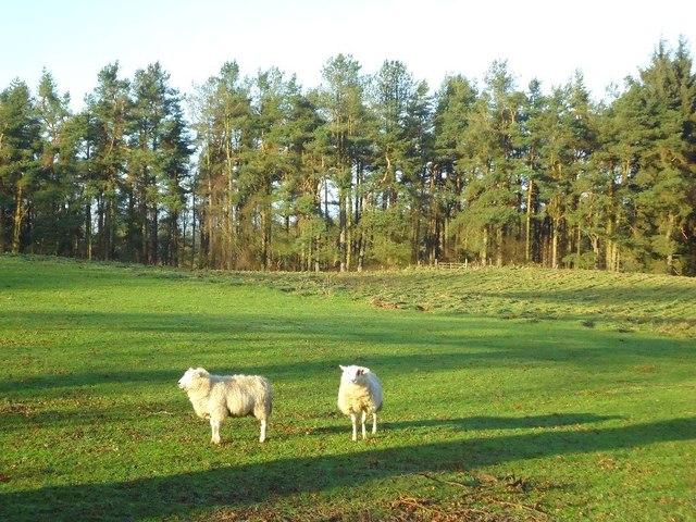 Auchengean Wood, pasture