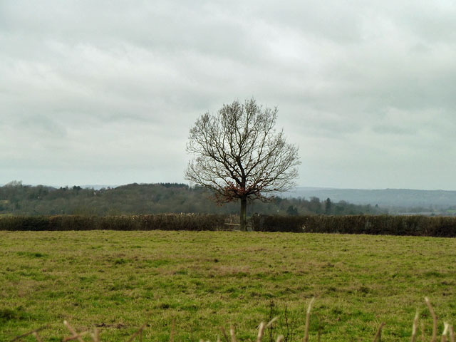 Hedgerow tree