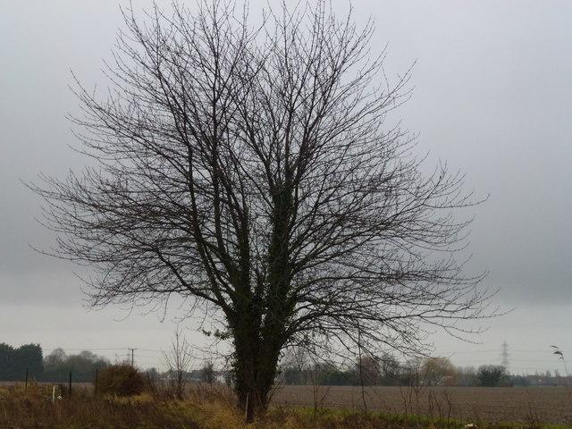 Tree near Northon's Lane, Holbeach