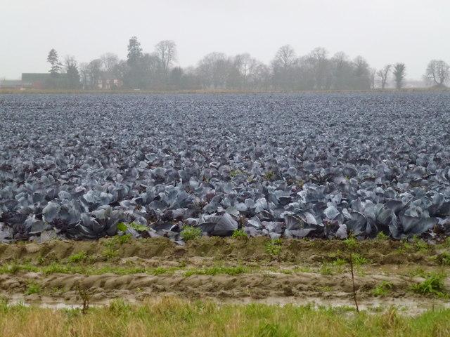 Cabbage field near Cobgate Farm, Weston