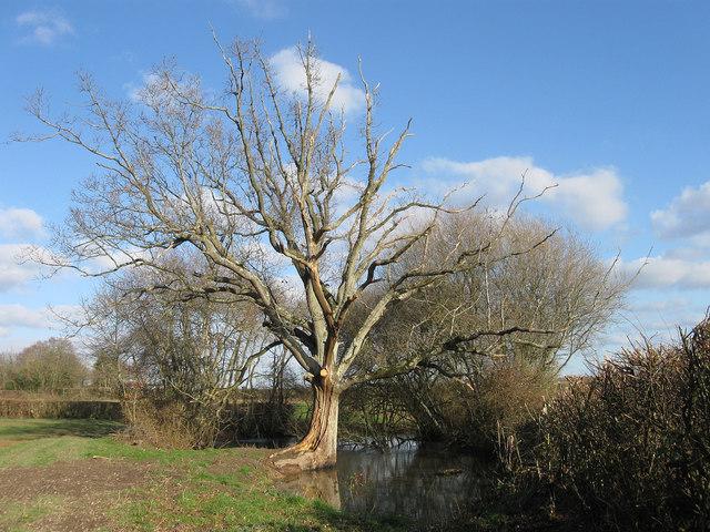 Oak Tree and Pond near Pekes Farm