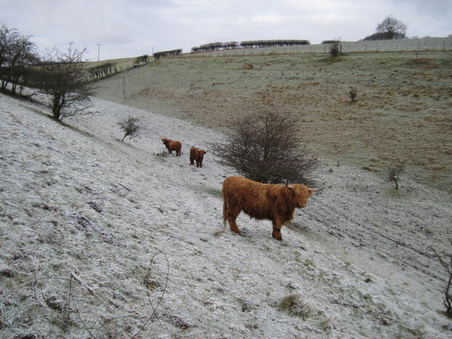 Highland  Cattle  in  Worm  Dale