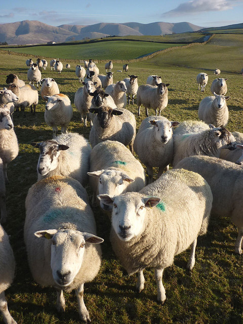 Hungry sheep near Green Dykes
