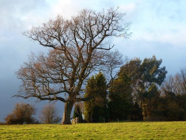 Field with tree, Mount Tudor, Catsash, near Newport
