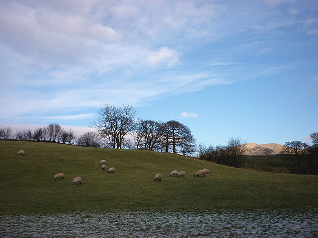 Sheep grazing by the Dales Way