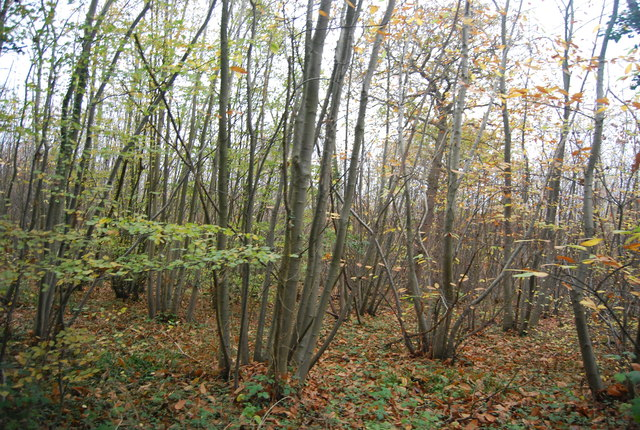 Coppicing, East Blean Wood