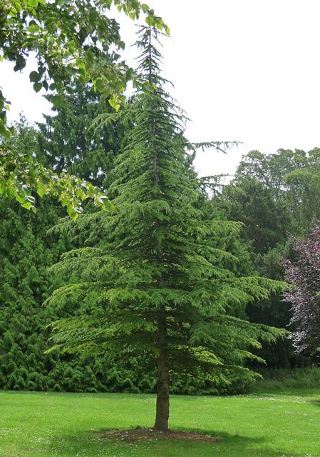 Coniferous tree near East Stratton (2)