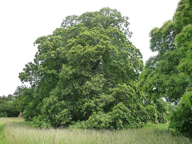 Sweet chestnut near East Stratton