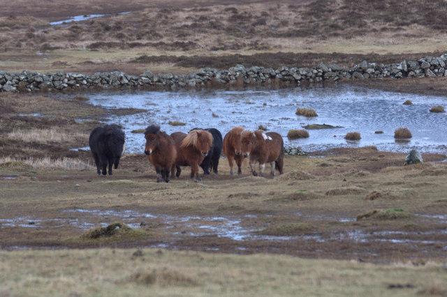 Shetland ponies at Uyeasound