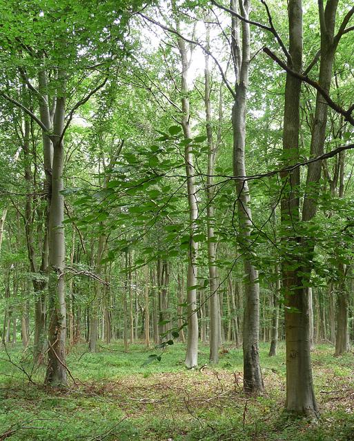 Rownest Wood near Woodmancott