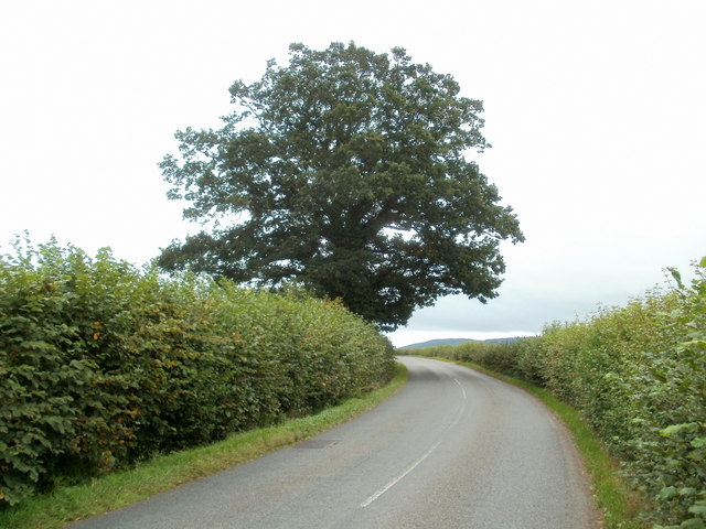 Tree dominates a bend in the B4347 between Pontrilas and Kentchurch