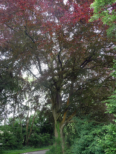 Copper beech near Bramdean