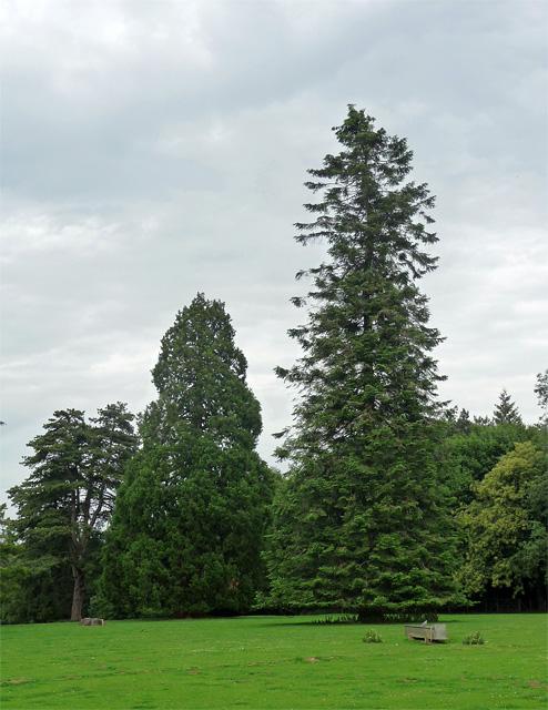 Coniferous trees near Bramdean