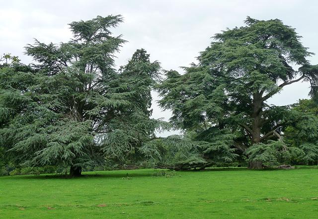 Cedars near Bramdean