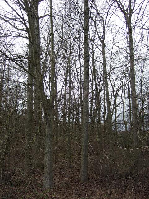 Shrog Wood
