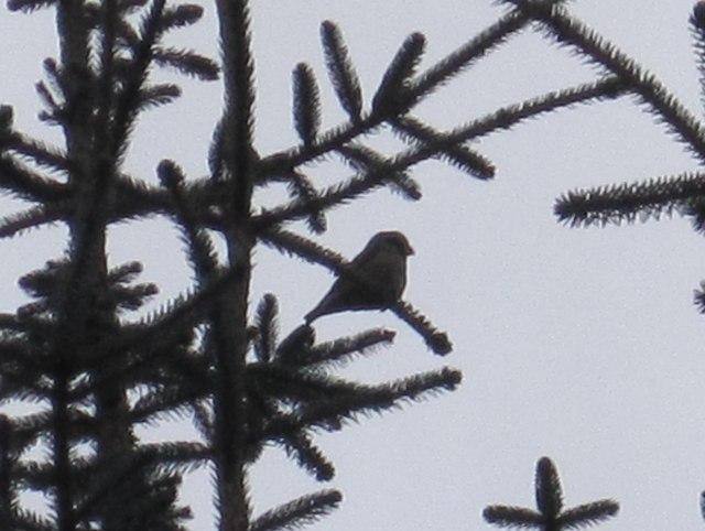 Crossbill in Wark Forest
