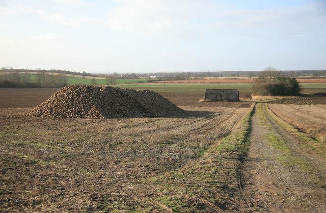 A pile of sugar beet