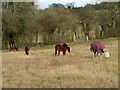 TQ4062 : Horses in Furze Bottom by Robin Webster