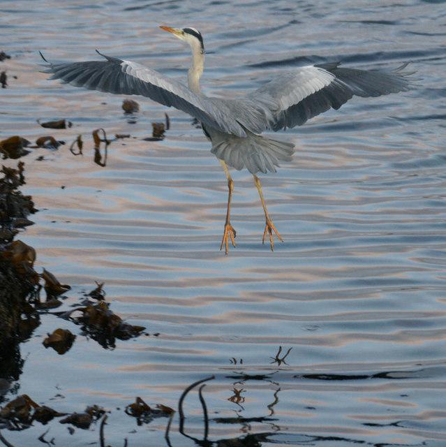 Grey Heron (Ardea cinerea), Baltasound