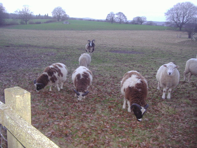 Sheep by Sutton Lane, Abinger Common