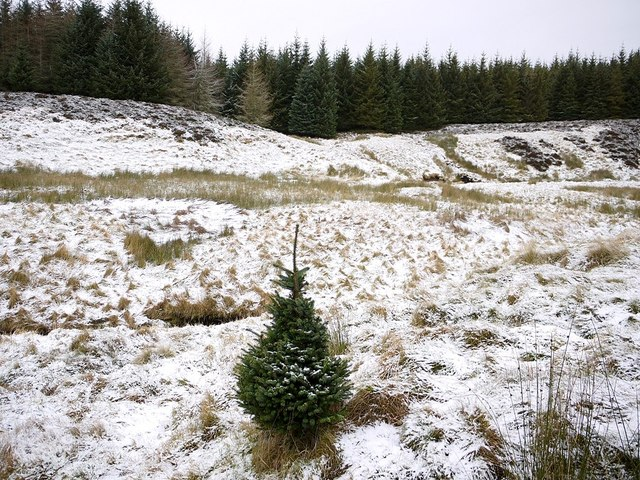 Dwarf tree by Davidson's Burn