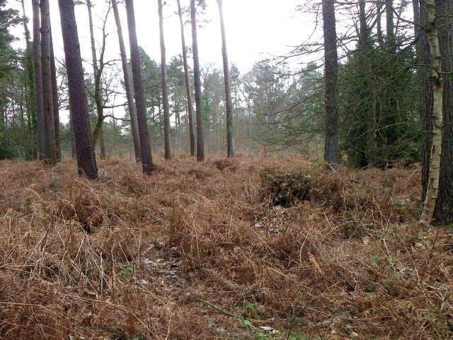 Bracken, Godshill Wood