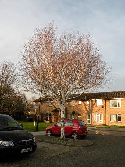 Silver Birch in Wycliffe Road