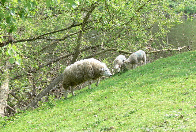 Ewe and lambs along the River Severn