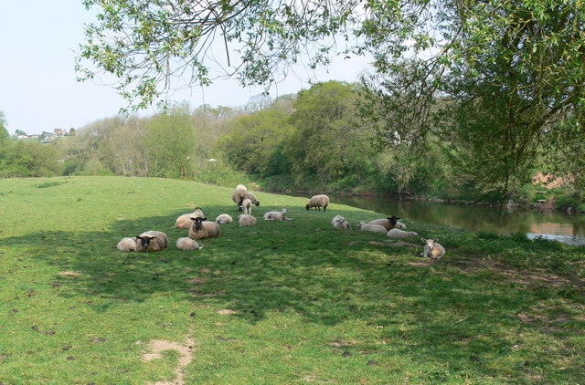 Sheep along the River Severn
