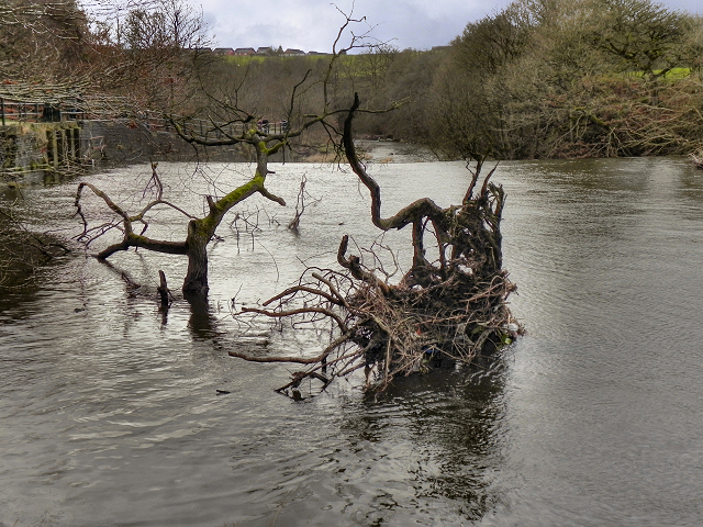 River Irwell, Fallen Tree