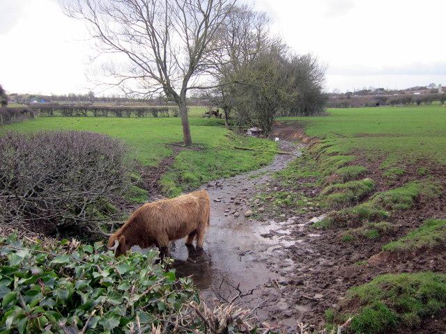 Highland Cattle in Brook Near Chadwich Manor