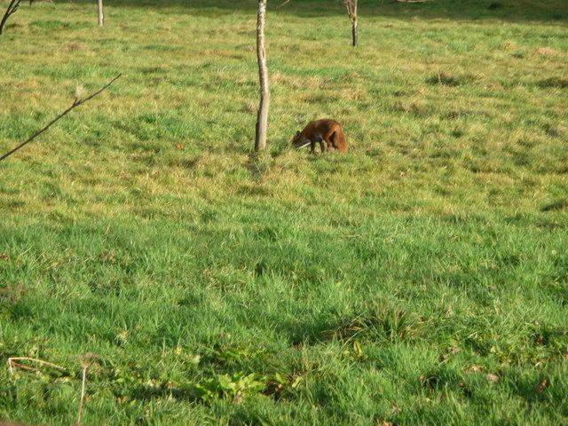Fox in  orchard next to Tymawr farm. Llangasty-Talyllyn