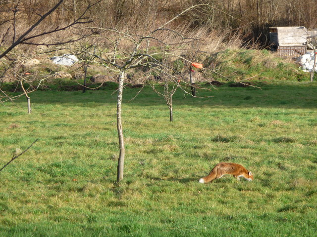 Fox in the orchard, Tymawr farm, Llangasty-Talyllyn