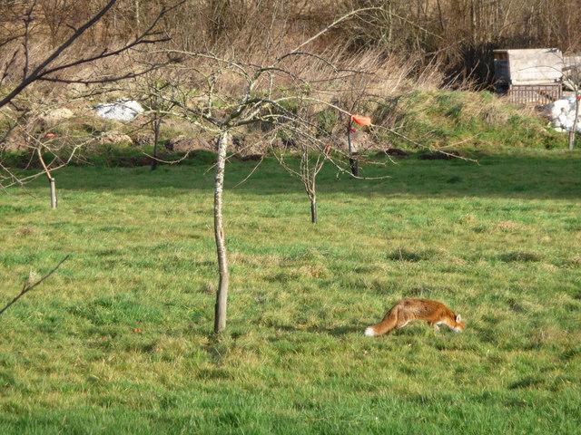 Fox in the orchard, Tymawr farm, Llangasty-Talyllyn