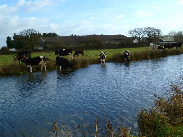 Cattle paddling in the canal