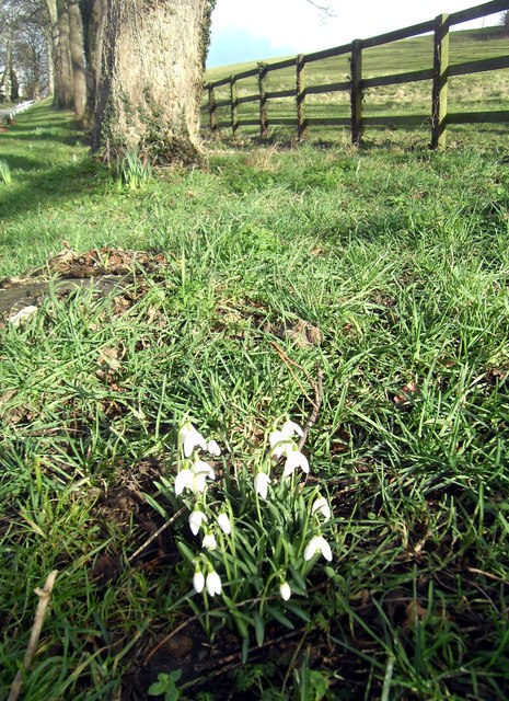 Snowdrops next to footpath near Ledston Hall