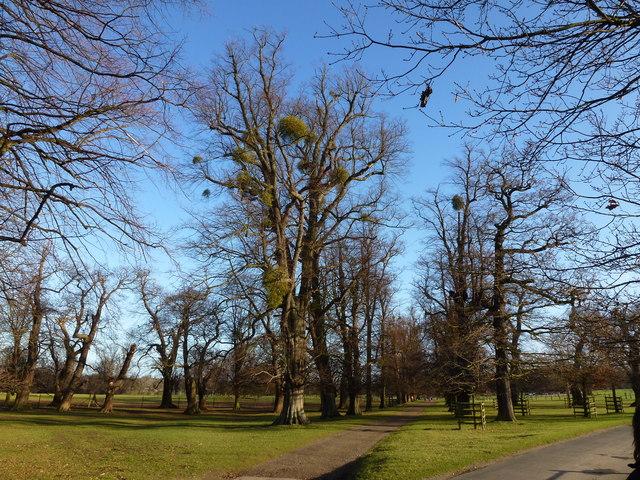 Mistletoe in Burghley Park, Stamford